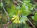 Ribes aureum 2017-04-17 7351.jpg