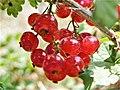 Ribes rubrum, Armenia (2).jpg