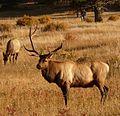 Rocky Mountain National Park in September 2011 - Elk in Moraine Park.JPG