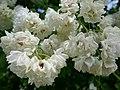 Rosa 'Pemberton's White Rambler' 01.jpg