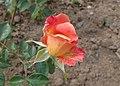 Rosa 'Pepe' kz01.jpg
