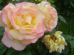 Rosa Gloria Dei.jpg