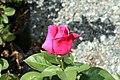 Rosa Perfume Delight 0zz.jpg