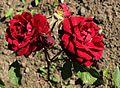 Rosa Prinzessin Irrlieb.jpg