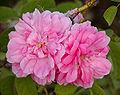 Rosa Quatre Saisons.jpg