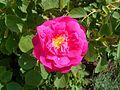 Rosa centifolia Muscosa 2017-05-31 1739.jpg