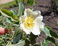 Rosa laxa, Devonian Botanic Garden.jpg