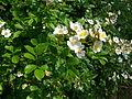Rosa multiflora flowers1.jpg
