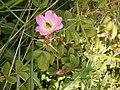Rosa rubiginosa 001.JPG