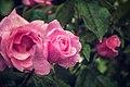 Rosas (8999790513).jpg