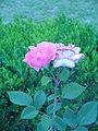 Rosas da UL (9).JPG