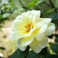 Rose,Golden King,バラ,ゴールデン キング, (8164100553).jpg