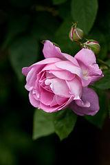 Rose, Mary Rose - Flickr - nekonomania.jpg