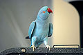 Rose-ringed Parakeet (Psittacula krameri) -blue mutation2.jpg