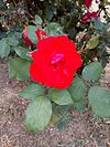 Rose 0004.jpg