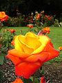 Rose in Dixon Park Belfast.jpg