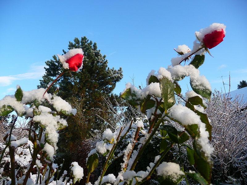 snowflowerpic