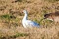 Ross' goose (38518138975).jpg