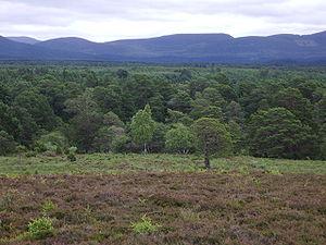 Rothiemurchus Forest - Rothiemurchus Forest