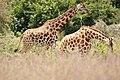 Rothschild giraffe (29639098677).jpg