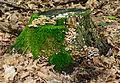Rotten stump covered with moss and fungi - verfallener Baumstumpf mit Moos und Pilzen - 01.jpg