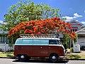 Royal Poinciana (Delonix regia) in Graceville, Queensland 03.jpg