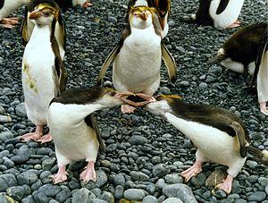 Royal penguin - Royal penguins fighting on Macquarie Island