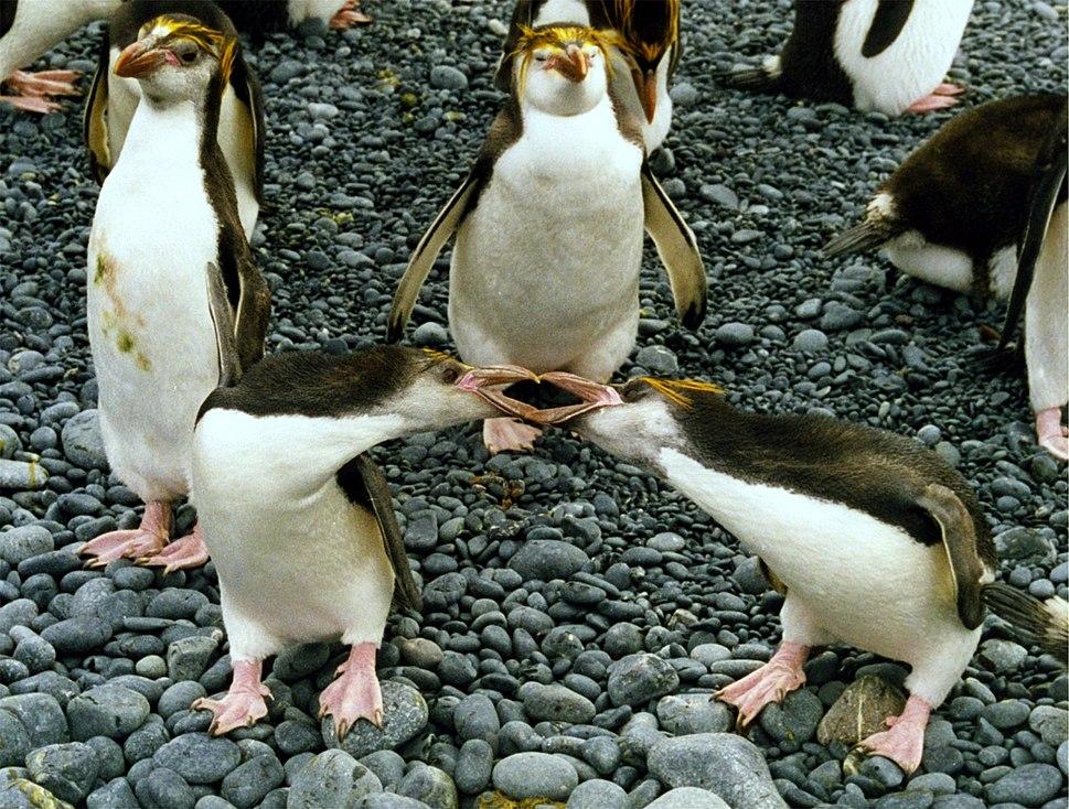 Royal penguins arguing