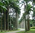 Roystonea oleracea du jardin botanique de Peradeniya.jpg