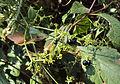 Rubia Cordifolia 15.JPG