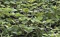 Rubus caucasicus, Giresun 2017-07-05 03-1.jpg