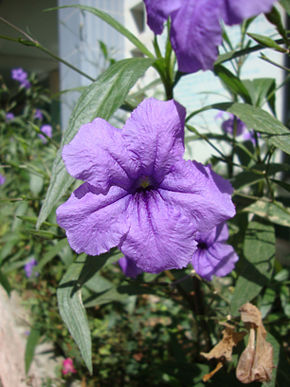 Description de l'image Ruellia simplex.jpg.