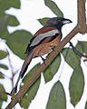Rufous treepie (Dendrocitta vagabunda) - Flickr - Lip Kee.jpg