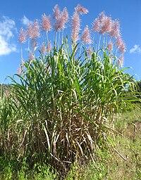 Saccharum officinarum, Mozambique.jpg