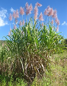 Saccharum officinarum, Mozambique.jpg