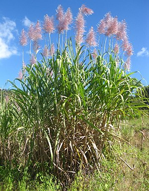 Saccharum officinarum - Saccharum officinarum growing in Mozambique