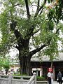 Sacred fig in Guangxiaosi.jpg