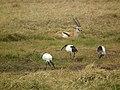 Sacred ibis in Tanzania 4179 Nevit.jpg