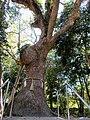 Sacred tree of Kagami-jinja 02.jpg