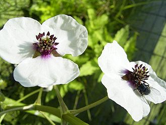 Sagittaria - Image: Sagittaria Sagittifolia bloem kl