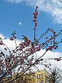 Saint Petersburg. Chinese Garden. Sakura tree2016 01.jpg