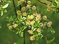 Salix arbuscula Wierzba skandynawska 2016-05-02 02.jpg