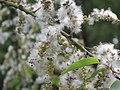 Salix tetrasperma - Indian Willow at Bavali (6).jpg