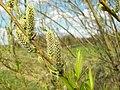 Salix viminalis 002.jpg