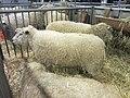 Salon de l'agriculture 2014 - Moutons Avranchin (5).JPG