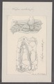 Salpa cristata - - Print - Iconographia Zoologica - Special Collections University of Amsterdam - UBAINV0274 092 08 0018.tif