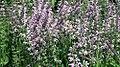 Salvia nemorosa Eveline 4zz.jpg