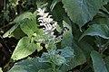 Salvia sclarea Béziers-Jardin médiéval 08.jpg