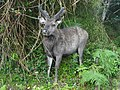 Sambar in Horton Plains National Park 08.JPG