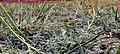 San Diego button-celery in historic vernal pool, Camp Pendleton (34372953173).jpg